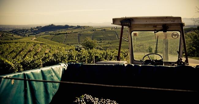 Barbera d'Asti - arbete i vingården