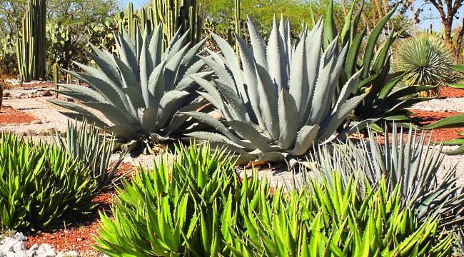 Mezcal-agave-plantor