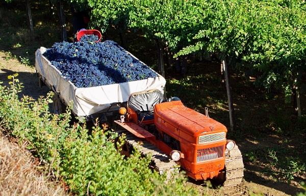 The Green Experience - i vingården lastas druvorna