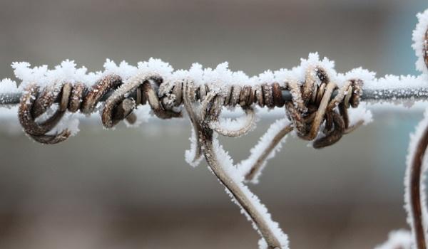 gammal vinstock på vintern