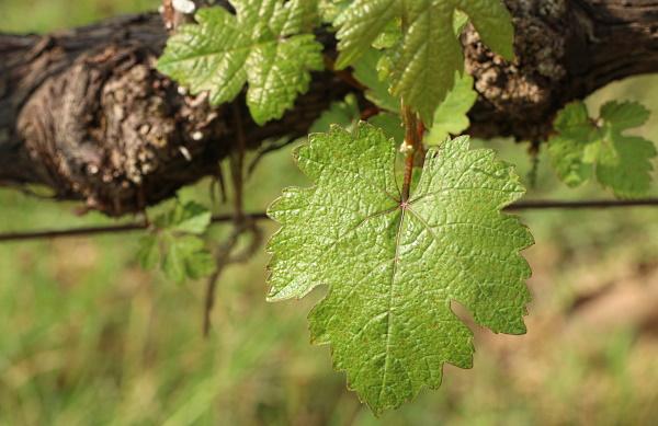 gammal vinstock - vinblad