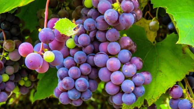 socker i vin - en klase vindruvor
