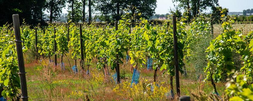 vinländer Sverige Norge - omslagsbild vingård