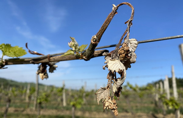 vinländer sverige norge - skrumpnade blad på grund av frost