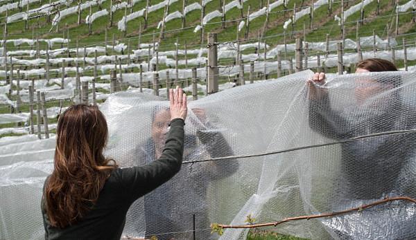 vinländer sverige norge - skyddar vinrankorna med plast