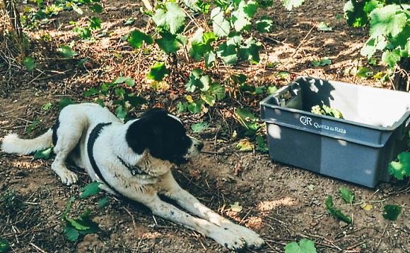 Raza Pet Nat - hund i vingården