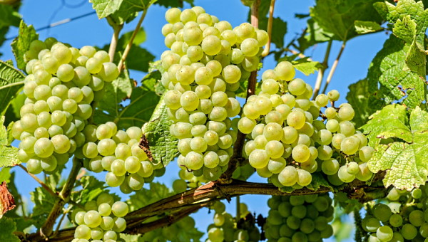 Sauvignon Blanc druvor