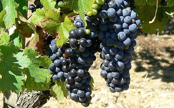 svenska viner hybriddruvan Rondo
