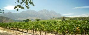 Chenin Blanc - en vingård i Sydafrika