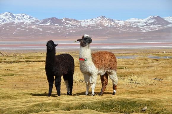 nya vinregioner - Bolivia, höga höjder och 2 lamor