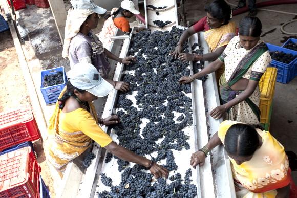 nya vinregioner - vindruvor sorteras av indiska arbetare i Bangalore