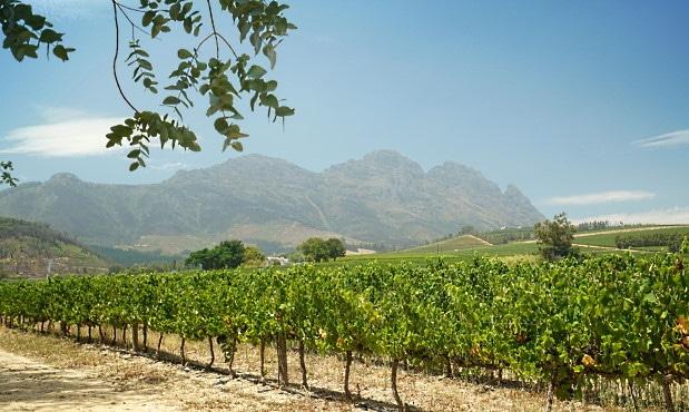 Sydafrikas Cabernet-viner - utsikt över vingård