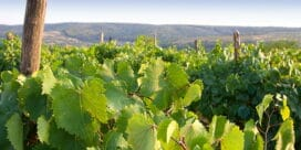 Är Sydafrikas Cabernet-viner nya världens bästa?