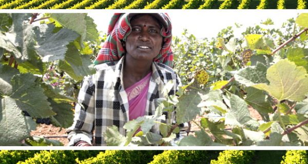 nya vinregioner - indisk vinarbetare i en vingård