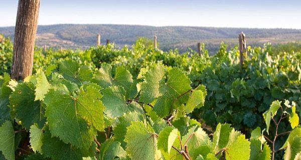 sydafrikas Cabernet-vinet - vinstockar